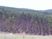 Fazenda 630 hec Eucaliptos de 12 anos + galpões e casas