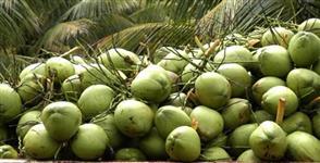 forneço coco verde