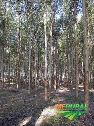 Floresta de eucalipto
