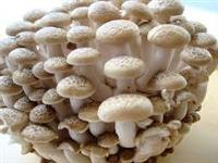 Projeto galpões para produção cogumelos