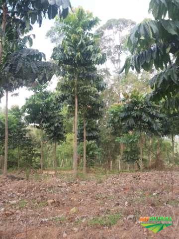 Plantio de Mogno Africano e madeiras nobres