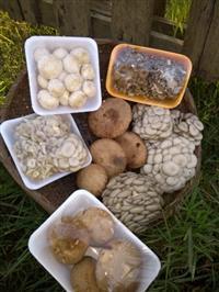 Temos cogumelos das variedades shimeji branco, shitake, champignon de Paris.