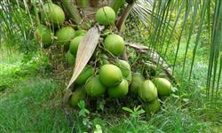 Coco verde de boa qualidade