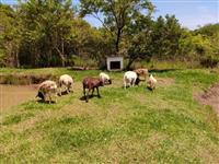 9 carneiro dorper mestiço Santa Inês sendo 7 fêmea