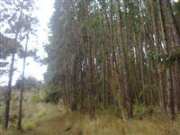 Área  156.000 m2  com 10.000 árvores de pinus elliotti em Nova Friburgo/RJ