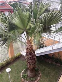 Palmeira das Canárias-Phoenix Canariensis