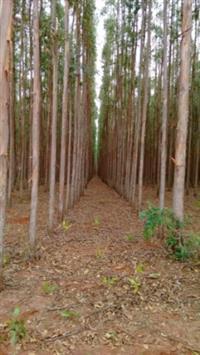 Venda de floresta de eucalipto