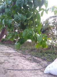 Maracujá orgânico Alagoas
