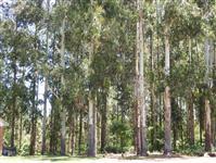 Floresta eucaliptos, pinus com mais de 10 anos