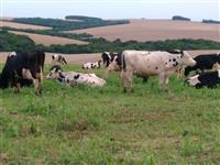 Vende-se lote de bovinos leiteiros