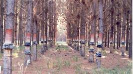 Arrendamento de reflorestamento de pinus para extração de resina
