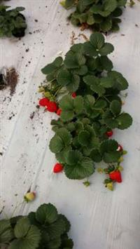 Morangos congelados em Camaçari e Dias D