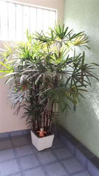 Planta  raffis