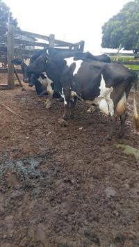 Vacas Holandesa e Jersolanda