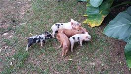 Doa-se Filhotes de Porco com 30 dias