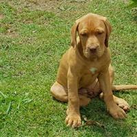 Filhote lindo Bull Mastiff Brasileiro. 5 meses