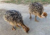 Filhote de avestruz
