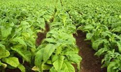 Tabaco Virginia