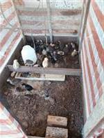 Vendo pintos caipira e Angola