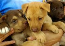 Filhotes de Husky com Labrador