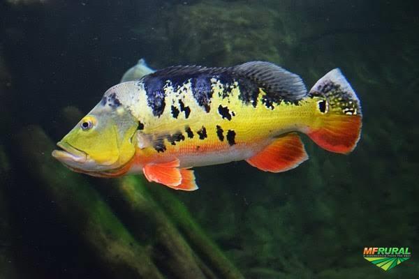 Venda de peixes vivos