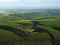 Valorize sua floresta de eucalipto