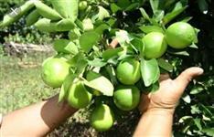 Vendo Limões Taihti