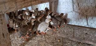 Pintinhos de galinha de angola (COCÁ).