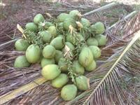 Vendo Coco Verde - R$1,00 buscando no Sítio (Fica em Mata de São João na Bahia)