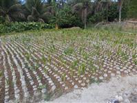 Muda coco anão verde