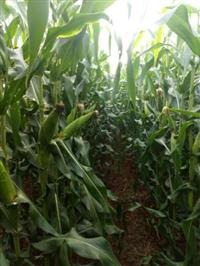 Produtores para plantio de milho verde