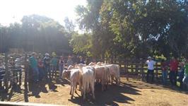 Venda de 30 vacas (com 30 bezerros), 13 novilhas + 1 Touro Canchim