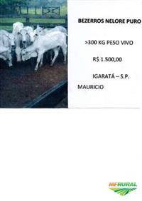 BEZERROS NELORE PURO >300 KG