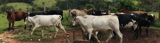 vendo lote de gado
