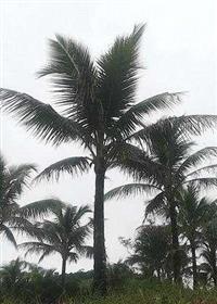 Vendo coqueiros anao produzindo, adultos, em Itaguai