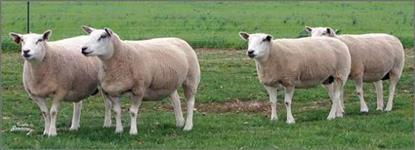 Ovelhas e Borregas Texel PO