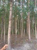 Plantio de eucalipto