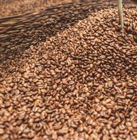 Café arábica (T4) em grãos torrados, moídos ou crus – Pen. 16 acima – Torra artesanal especializada