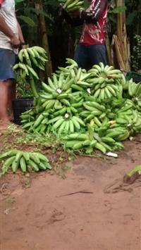 Banana prata excelente qualidade