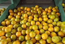 Compro laranja pera rio