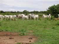 Vendo Fazenda 504 alq.(2.406,00 hect) em PEIXE-TO, múltiplas atividades plantio de soja, bovinos etc