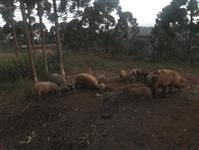 Vendem-se Porcos Caipiras