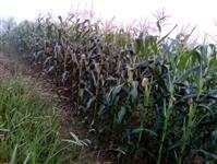 Milho verde Bio Matrix 3066 pro 2