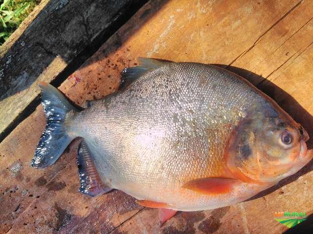Pacu E Outros Peixes. em Rancharia SP à venda. Compre direto 332292