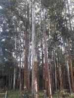 Floresta Eucalipto Madeira para Serraria - Município de Piraju - SP