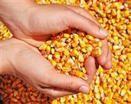 Vendo Milho a Granel Padrão – Safra 2019