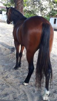 cavalo QM com registro