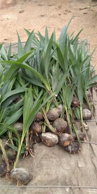 Mudas de coco verde anao