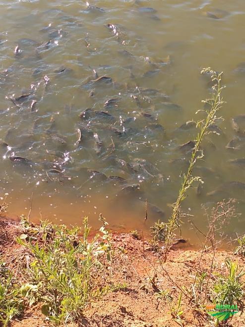 Peixes de todas espécies alevinos juvenil adulto