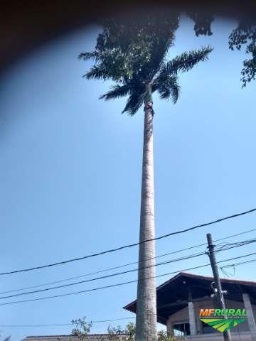 Vendo uma palmeira imperial muito grande
